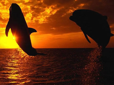 Dolfijnen plaatje 3