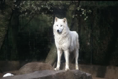 Wolven 1